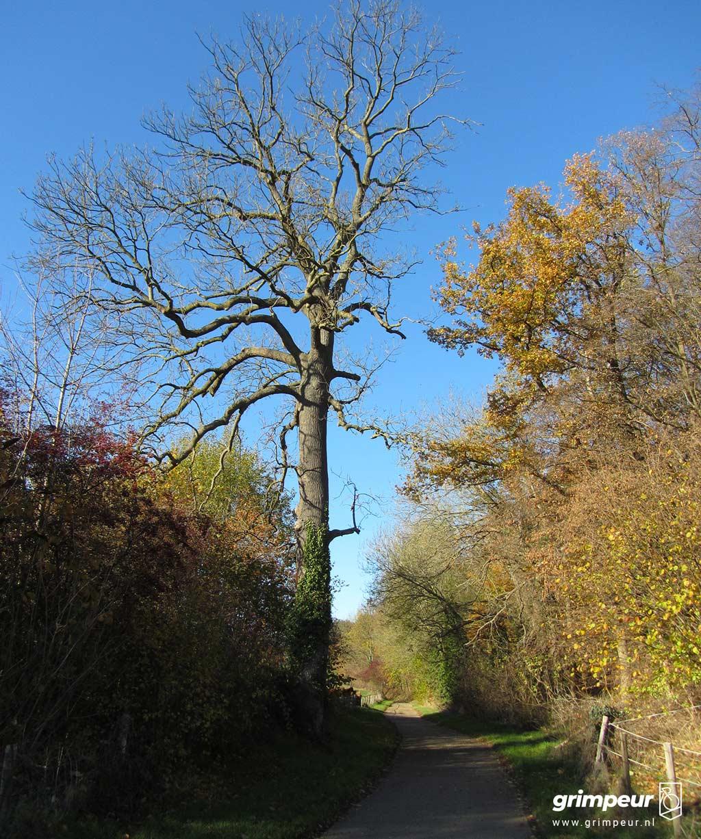 Oude boom langs de beklimming van de Hagendoornweg